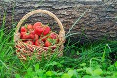 Kosz z świeżymi ukradzionymi czerwonymi dojrzałymi truskawkami na zielonej trawie Obraz Stock