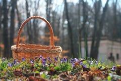Kosz z fiołkami w lesie fotografia stock