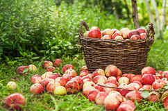 Kosz z jabłkami Zdjęcie Royalty Free