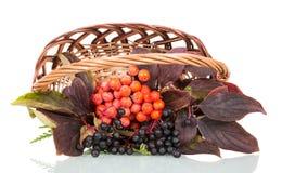 Kosz z jagodami halny popiół i elderberry odizolowywający na bielu Obrazy Royalty Free