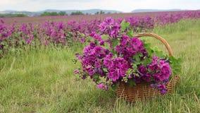 Kosz z purpurowym dzikim ślazem przed pięknym kwiatu polem zdjęcie wideo