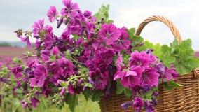 Kosz z purpurowym dzikim ślazem przed pięknym kwiatu polem zbiory