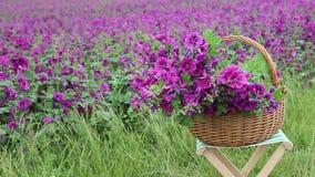 Kosz z purpurowym dzikim ślazem przed pięknym kwiatu polem zbiory wideo