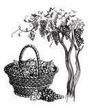 Kosz z winogronami ilustracja wektor