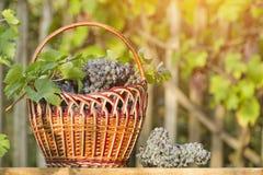 Kosz z winogronami na żywopłotu tle sunlight obrazy stock