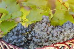Kosz z winogronami na żywopłotu tle sunlight obraz stock