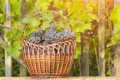 Kosz z winogronami na żywopłotu tle sunlight zdjęcie stock