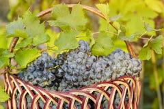 Kosz z winogronami na żywopłotu tle sunlight fotografia stock