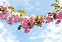 Koszowa gałąź Sakura zdjęcia royalty free