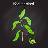 Koszykowi rośliny Callisia fragrans, lecznicza roślina Zdjęcie Stock