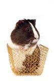 koszykowi złociści królik doświadczalny Fotografia Royalty Free