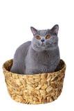 koszykowy błękitny brytyjski kot Zdjęcia Royalty Free