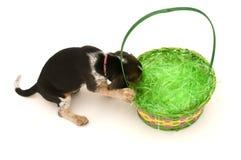 koszykowy beagle Easter dostawać Obraz Stock