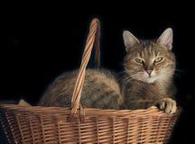 koszykowy kot Fotografia Royalty Free