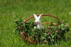 koszykowy królika obsiadania biel Zdjęcia Royalty Free