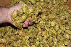 Koszykowy pełny Chinook liść podskakuje Fotografia Stock