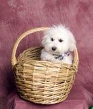 koszykowy puszysty szczeniaka biel wicker Obraz Stock
