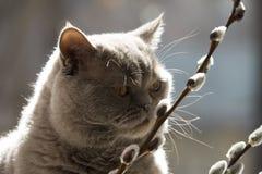 Kotów Szkoccy Prości spojrzenia przy wierzbowymi gałązkami zdjęcie stock