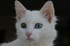 Kotów błękitni i zieleni ayes Obraz Stock