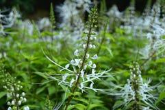 Kotów bokobrodów kwiat Fotografia Stock