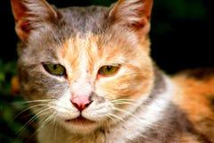 Kotów bokobrody fotografia stock