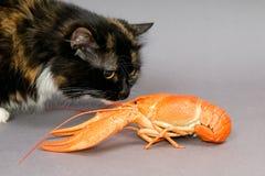 kotów crayfish obrazy royalty free