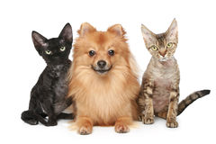 kotów Devon psi rex spitz dwa Fotografia Royalty Free