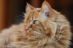 kotów hobbes Zdjęcie Royalty Free