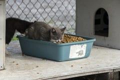 Kotów jeść Fotografia Stock