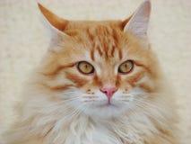 12 kotów kuzia o portret senior y Fotografia Stock