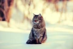 12 kotów kuzia o portret senior y Fotografia Royalty Free