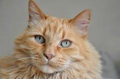 12 kotów kuzia o portret senior y Zdjęcie Royalty Free