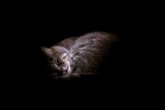 12 kotów kuzia o portret senior y Obrazy Royalty Free