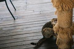 Kotów narysów brody drewniany podłogowy sztuczny drzewko palmowe fotografia stock