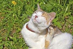 Kotów narysy ucho fotografia stock