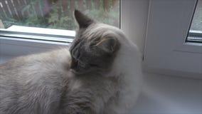 kotów obmycia na windowsill zdjęcie wideo