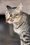 Kotów oczu czerwieni krwionośne rany Obraz Royalty Free