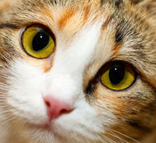 kotów oczy Zdjęcia Stock