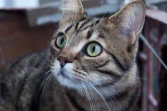 kotów oczy Obraz Royalty Free