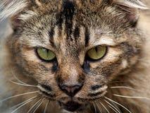Kotów oczy Zdjęcie Stock