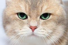 Kotów oczy: Zakończenie up zielenieje ey Brytyjscy złoci szynszylowi koty Zdjęcia Stock