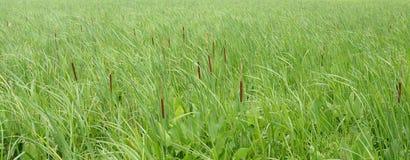 Kotów ogony i zielone trawy w wiatrze w bagna obraz stock