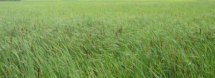 Kotów ogony i zielone trawy w wiatrze w bagna fotografia stock
