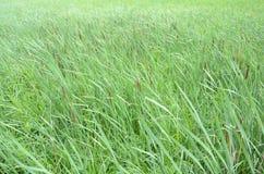 Kotów ogony i zielone trawy w wiatrze w bagna zdjęcie stock