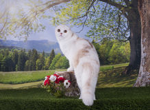 Kotów polowania na krawędzi Zdjęcia Royalty Free