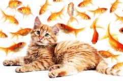 Kotów przyglądający goldfishes Obrazy Royalty Free