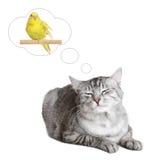 kotów ptasi brytyjscy sen zdjęcie royalty free