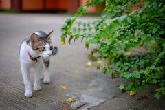 Kotów spacerów outside dom Zdjęcie Royalty Free