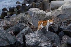 Kotów spacery na skałach Obraz Royalty Free