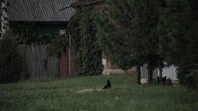 Kotów spacery obok kurczaka zbiory